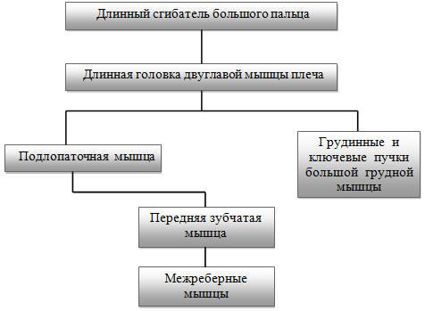 Структурная схема межмышечных