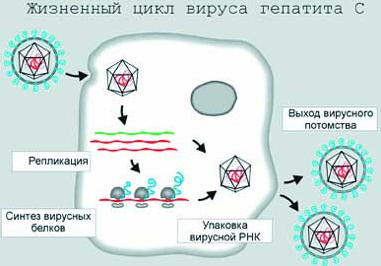 Рисунок 2. Жизненный цикл вируса гепатита С