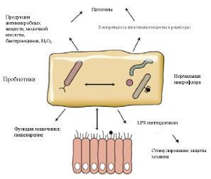 Нормальная микрофлора и пробиотики взаимодествуют с хозяином в метаболической активности и иммунной функции, а также предотвращают колонизацию оппортунистических и патогенных микроорганизмов (источник: J Intern Med 2005;257:78–92)