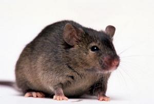 Мышей омолодили человеческой кровью