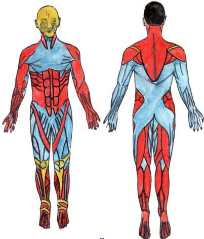 Рис. 1. Топография скелетных мышц в зависимости от диапазона их оптимального функционирования