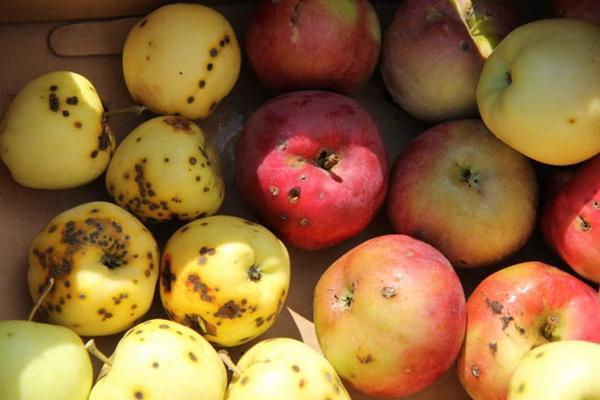 """Не все фрукты """"с бочком"""" безопасны для здоровья"""