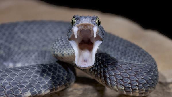 Исследователи нашли новые антидоты против змеиного яда